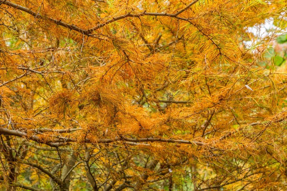 Larch foliage
